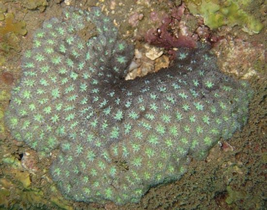 10 loài san hô có nguy cơ tuyệt chủng cao nhất