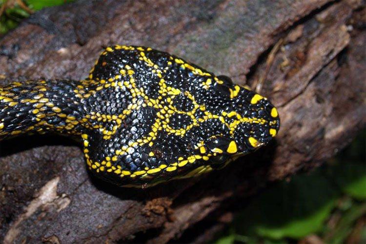 4 loài rắn cực độc được tìm thấy nhiều nhất ở Fansipan