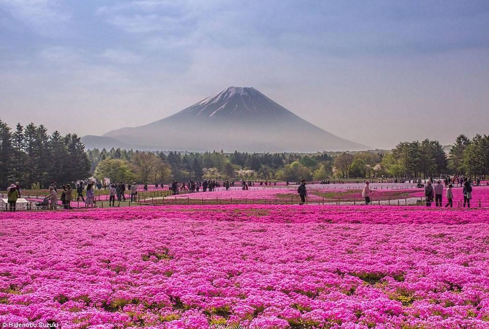 4 triệu bông hoa tình yêu nở rộ ở công viên Nhật Bản