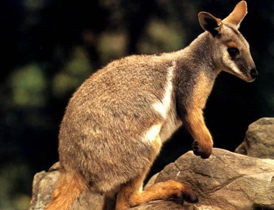 45 loài sinh vật ở Australia có nguy cơ tuyệt chủng