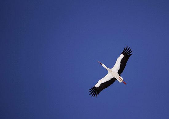 Ảnh đẹp: Chim ưng biển cắp cành về xây tổ