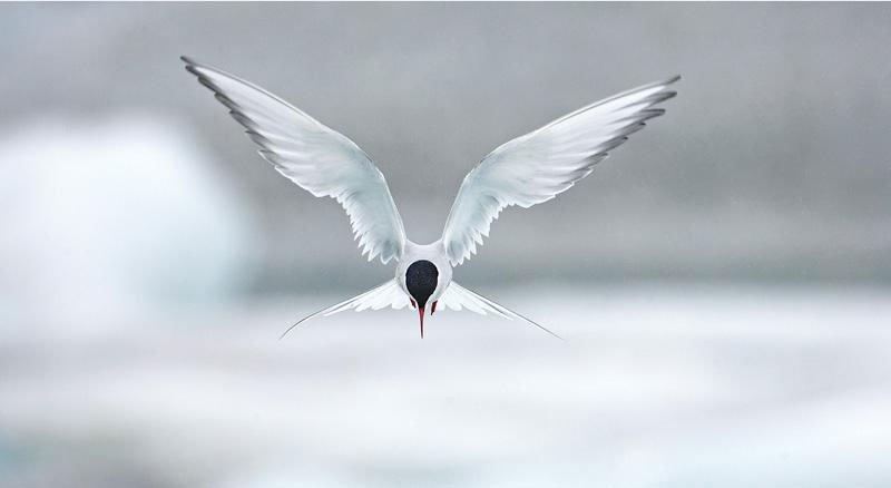 Ảnh đẹp: Cuộc chiến của mòng biển