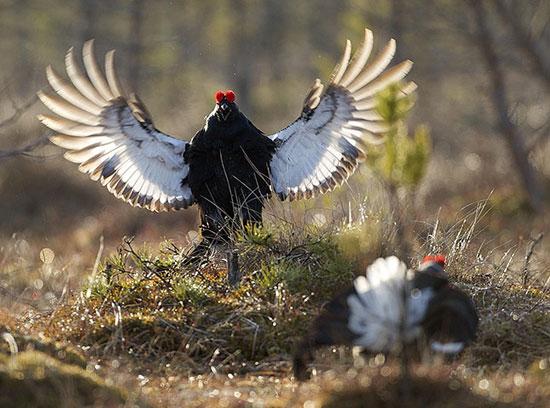Ảnh đẹp: Màn tỏ tỉnh lãng mạn của gà gô đen