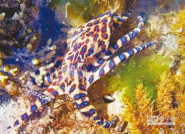 Bạch tuộc độc hơn rắn hổ mang dạt vào bờ biển