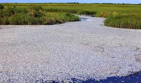 Bàng hoàng với bạt ngàn cá chết ở Louisiana