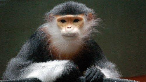 Bảo vệ loài linh trưởng tại bán đảo Sơn Trà