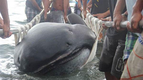 Bắt được cá mập miệng rộng hiếm ở Philippines