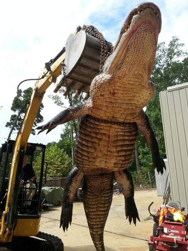 Bắt được cá sấu nặng 420 kg