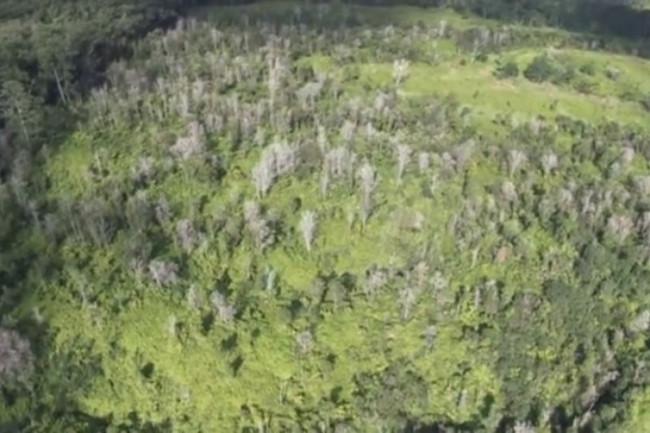 Bệnh lạ làm chết hàng trăm ngàn cây ở Hawaii