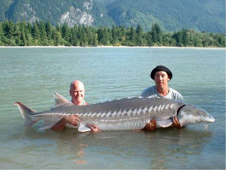 Bí ẩn loài cá tầm khổng lồ, nặng cả tấn