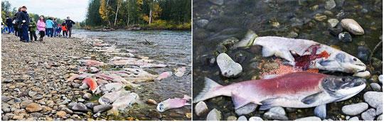 Bí ẩn thiên nhiên: di cư kỷ lục 8 triệu cá hồi