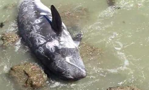 Bị săn đuổi, cá heo tuyệt vọng lao đầu vào đá