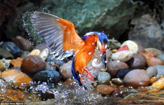 Bộ ảnh chim bói cá săn mồi độc đáo