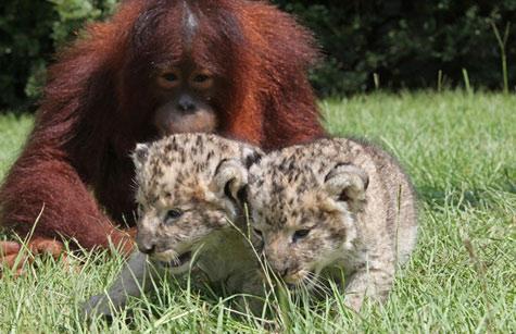 Bố đười ươi, con nuôi… sư tử