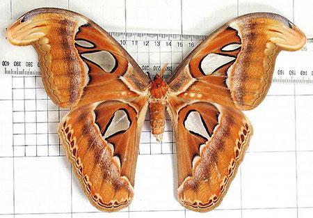Bướm khổng lồ, sải cánh 30cm xuất hiện ở Gia Lâm