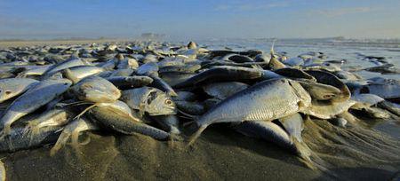 Cá chết trắng xóa bờ biển Mỹ