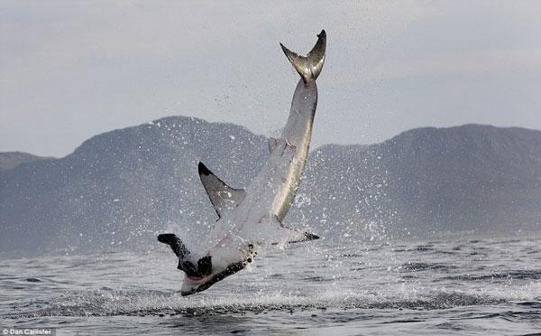 Cá mập gãy răng vì săn mồi
