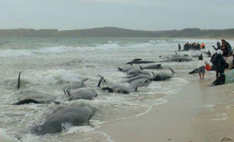 Cá voi hoa tiêu chết hàng loạt do bị mắc cạn tại New Zealand