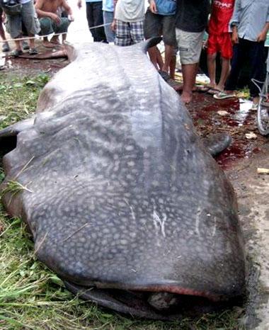 Cá voi nhám nặng 2 tấn vướng lưới ngư dân