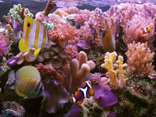 Các dải san hô có nguy cơ biến mất vào năm 2050