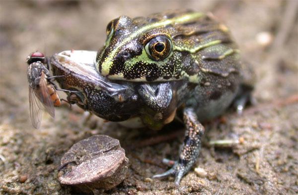 Các nhà khoa học phát hiện ếch ăn thịt cả đồng loại