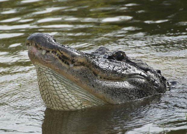 Cận cảnh cá sấu khổng lồ