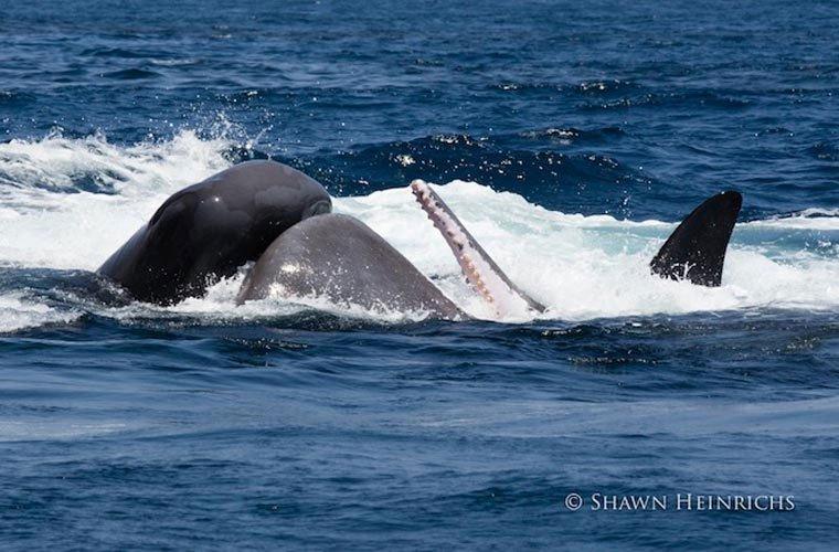 Cận cảnh cá voi sát thủ săn cá nhà táng khổng lồ