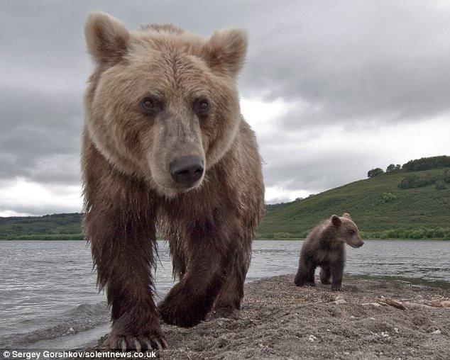 Cận cảnh gấu săn cá hồi ở Nga