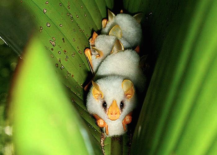 Cận cảnh loài dơi trắng đáng yêu nhìn lạ nhất thế giới
