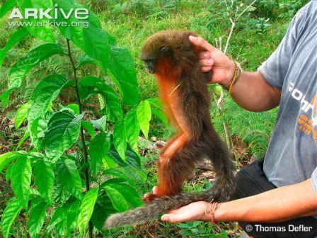 Cận cảnh loài khỉ Titi mới ở Columbia