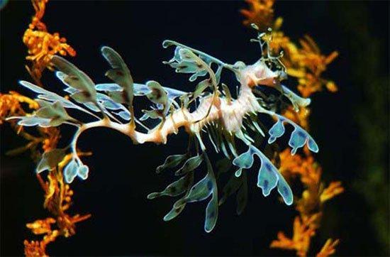 Cận cảnh loài rồng quý hiếm dưới đáy biển
