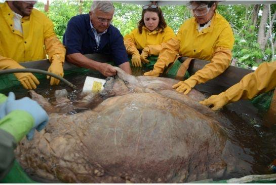 Cận cảnh trái tim khủng nhất thế giới của cá voi xanh