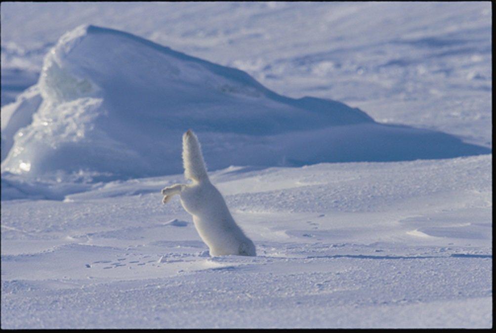 Cáo Bắc cực - loài vật xinh đẹp ăn phân chính mình