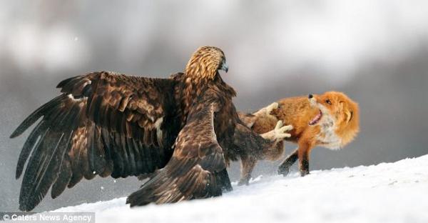 """Cáo và chim ưng vàng """"đối mặt"""" giành thức ăn"""