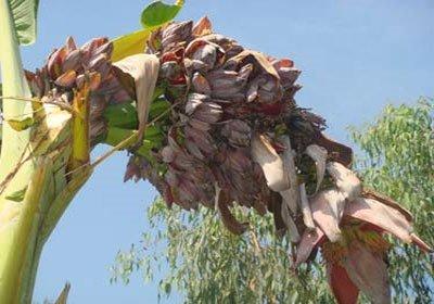 Cây chuối lạ trổ ra hơn 100 hoa