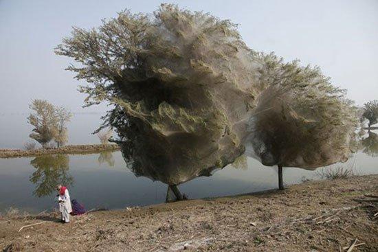 Cây mạng nhện tại Pakistan