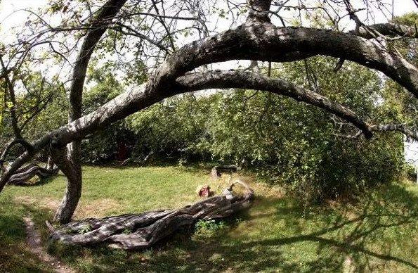 Cây táo cổ thụ tán rộng bằng 10 sân bóng