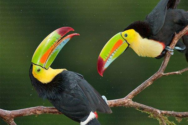 Chiếc mỏ sặc sỡ của chim Toucan