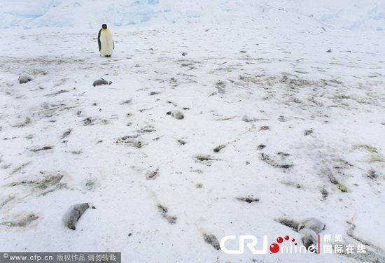 Chim cánh cụt chết hàng loạt ở Nam Cực