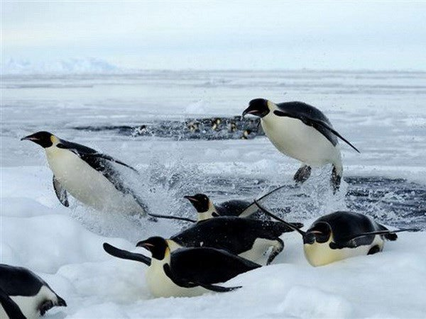 Chim cánh cụt hoàng đế đối mặt nguy cơ tuyệt chủng