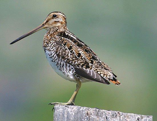 Chim chịu gian khổ giỏi nhất: Bay nghìn dặm, không ăn uống