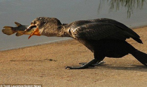 Chim cốc nuốt chửng cá hỏa tiễn dài nửa mét