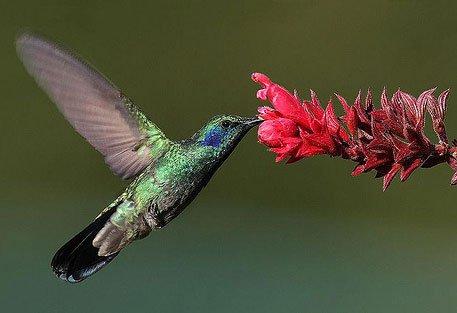 Chim ruồi hút mật bằng lưỡi