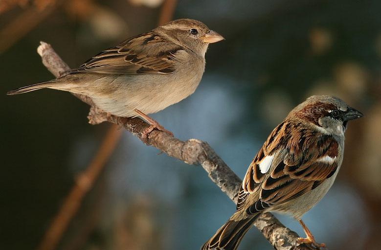 Chim sẻ nhận biết được mầm bệnh