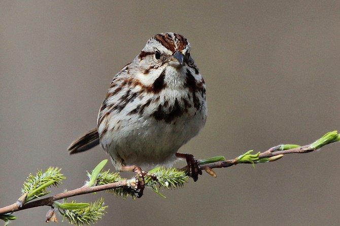 Chim thành thị hung dữ hơn chim nông thôn?