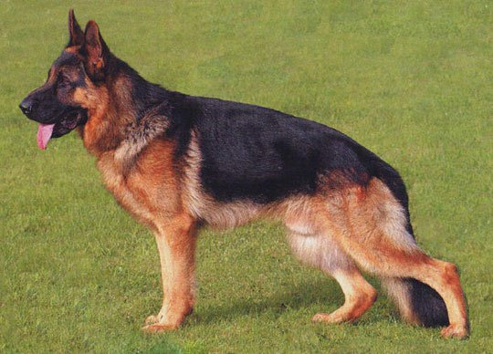 Chó là loài có khả năng tìm kiếm chất nổ tốt nhất