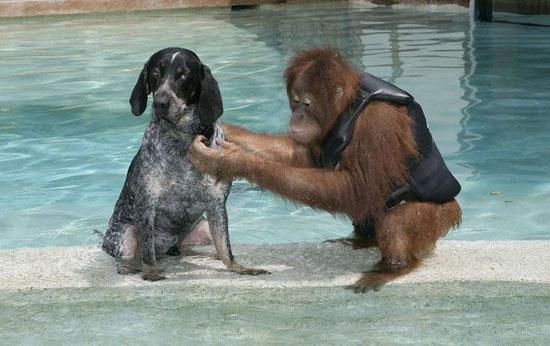 Chó làm bạn với đười ươi