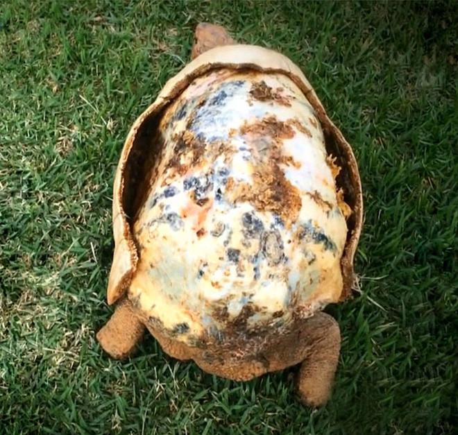Chú rùa đầu tiên đi vào lịch sử với chiếc mai được tạo ra từ máy in 3D