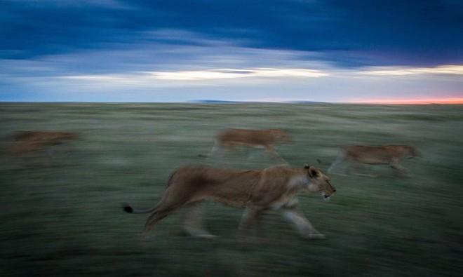 Chùm ảnh: Cuộc sống loài sư tử