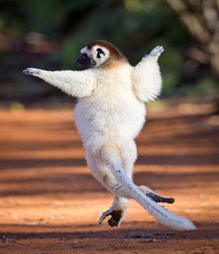 Chùm ảnh vượn cáo múa ba lê, nhảy hip hop